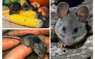 Como lidar com ratos no país e no site