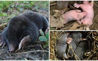 Descrição e fotos de moles recém-nascidos