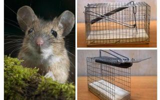 Gaiola ratoeira