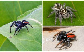 Aranhas saltadoras (aranhas de salto)