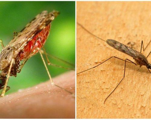 Como são os mosquitos da malária e quão perigosos eles são para os seres humanos