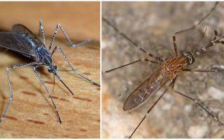 Descrição e fotos de espécies de mosquito