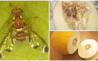 Descrição da mosca melão, e métodos de lidar com ele