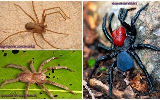 Descrição e fotos das aranhas mais perigosas do mundo