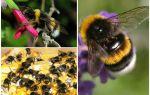 Descrição e fotos da bumblebee da terra