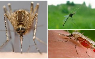 Como os mosquitos veem e o que os atrai para uma pessoa