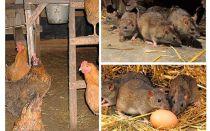 Como lidar com ratos no galinheiro