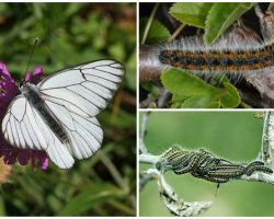 Descrição e foto da lagarta e borboleta Hawthorn como lutar