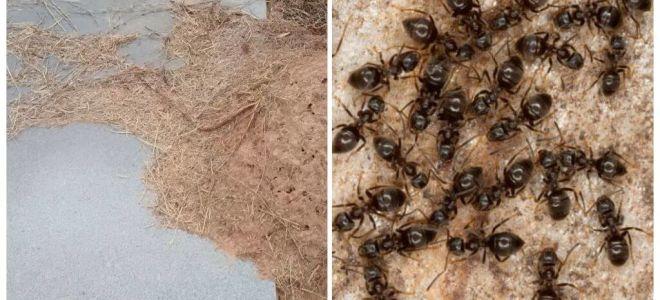 Como se livrar das formigas no túmulo