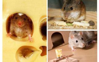 Ratos comem queijo ou não