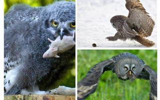 Uma coruja mata cerca de 1000 camundongos durante o verão