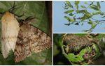 Descrição e foto da lagarta da traça cigana