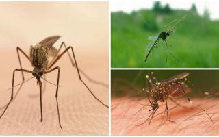 Fatos interessantes sobre mosquitos