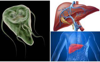 Giardia no fígado - sintomas e tratamento