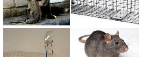 Como tirar ratos de uma casa particular