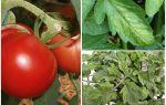Pulgões em tomates - o que processar e como lutar