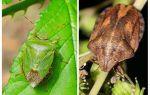 Se homebugs ou bedbugs cheiram