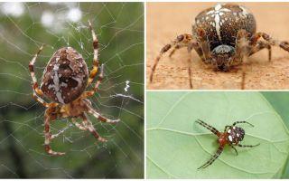 Crusader Spider Descrição e Fotos