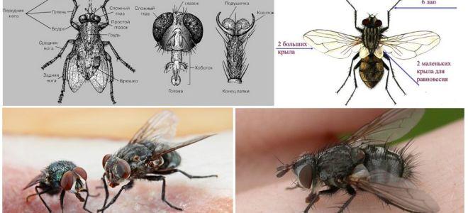A estrutura das moscas