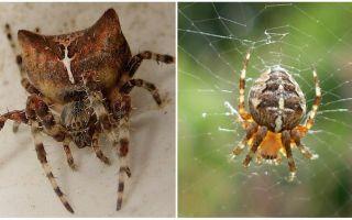 Corrida de aranha: foto e efeitos depois de uma mordida