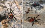 Descrição e fotos de aranhas do Cazaquistão