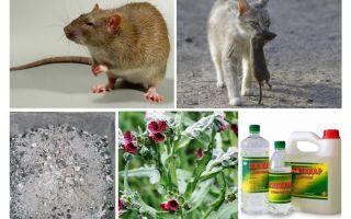 Como remover ratos dos remédios populares do celeiro