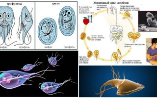 Ciclo de vida de Giardia e tratamento de cistos