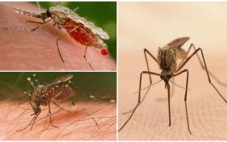 Quantos mosquitos você precisa para beber todo o sangue