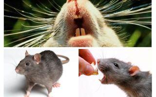 Chocalho de rato