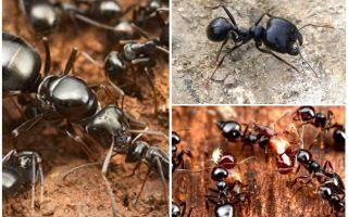 Ceifadores de formigas