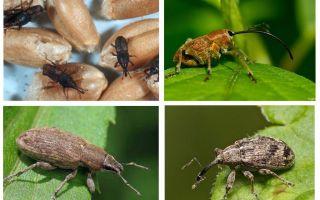 Besouro do besouro e suas larvas