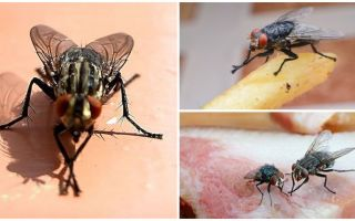 Por que moscas esfregam suas patas