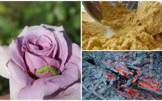 Como pulverizar rosas de lagartas e pulgões