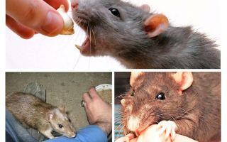 O que fazer se um pedaço de rato