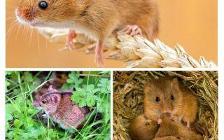 Onde os ratos vivem