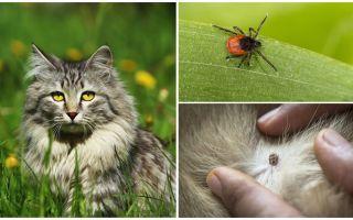 O que fazer e como tratar um carrapato em um gato ou gato