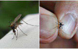 Como se reproduzir e quantos mosquitos vivem