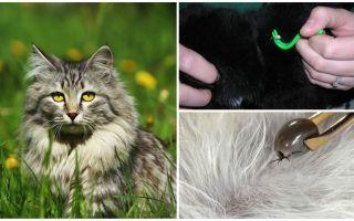 Como remover um carrapato de um gato ou gato