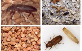 Blackflies em cereais, farinha, macarrão e como se livrar deles