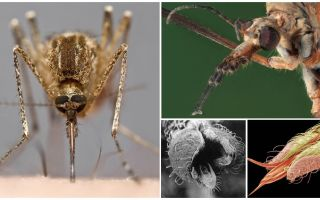 Fazer dentes de mosquito?