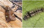 Descrição e foto de borboletas e lagartas colheres como lutar
