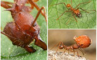 Formigas atta