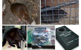 Controle de roedores