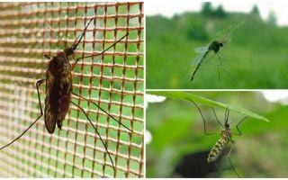 Como mosquitos e moscas voam