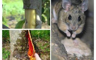 Como salvar a macieira, se a casca de nabbed ratos