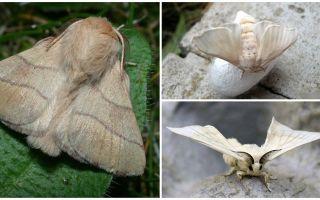 Descrição e foto de borboleta lagarta e bicho da seda