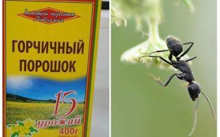 Mostarda em pó de formigas e pulgões no jardim