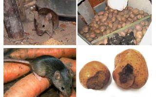 Como tirar ratos da adega