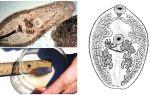 Descrição dos trematodes