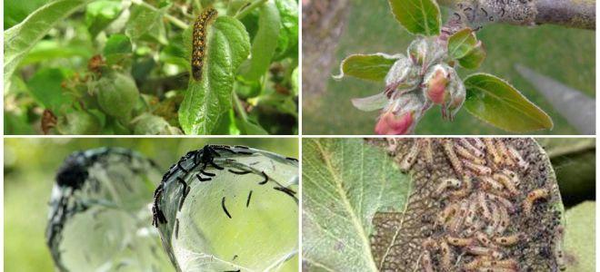 Como se livrar de lagartas em uma macieira